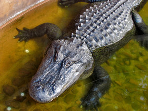 crocodile squint2: large captive saltwater crocodile