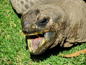 messy eater2: Aldabra giant tortoise eating grass