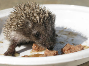 hungry hedgehog