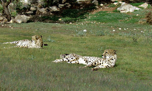 relaxing cheetahs1: cheetahs at rest in their enclosure