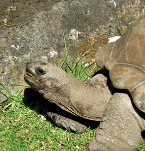 sticking your neck out4: aldabra giant tortoise sticking its neck out as it grazes on grass