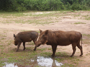 wild boars: photo taken in Uganda