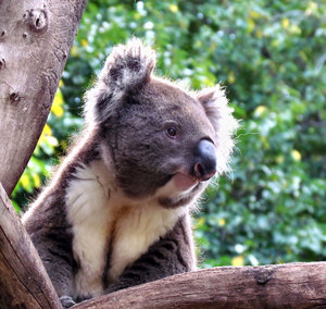 quiet koala: quiet Australian koala up a gum tree