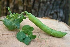 Pea Pod on a Wood Slab