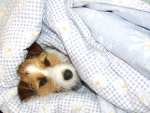Snuggly Dog: dog in a duvet, keeping warm in winter, jack russell, terrier