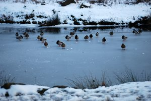 frozen river with ducks 2
