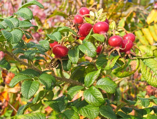bush of rose hips