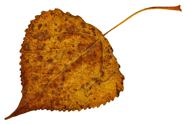 Leaf 5: An isolated fall leaf.
