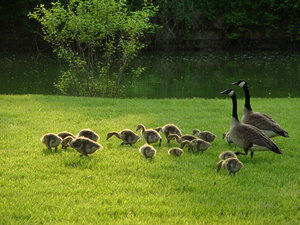 Geese and goslings: Geese and goslings wallking through grass near a lake channel