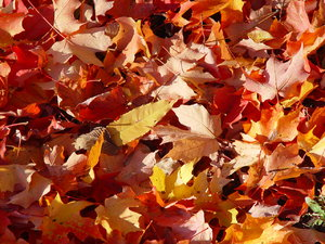 Autumn leaves background: colorful autumn leaves