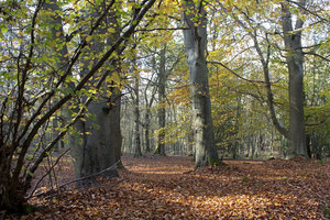 Beech trees in autumn 02