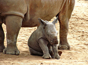 close to mother2: rhino mothter and young calf