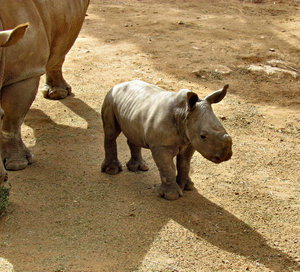 close to mother6: rhino mothter and young calf