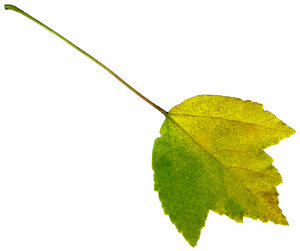 Leaf 20: An isolated fall leaf.