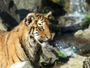 Young Tiger: Young tiger in sunshine.
