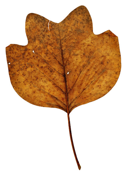 Leaf 25: An isolated fall leaf.