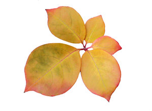 Autumn leaves: Pale yellow leaf with pink trim