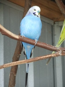 Blue Budgie: a blue budgie on a perch