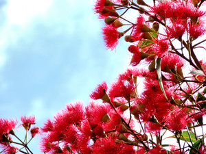 red gum tree buds & blossoms: Australian eucalypts - gum trees - flowers and seed pods