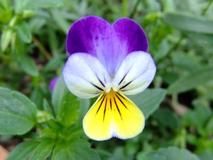 Heartsease Pansy: summer flowers, Viola tricolor