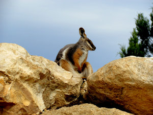 yellow-footed rock wallaby1: one of the Australian gentle colourful rock wallaby species