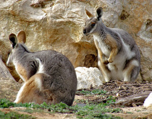 yellow-footed rock wallaby9: one of the Australian gentle colourful rock wallaby species