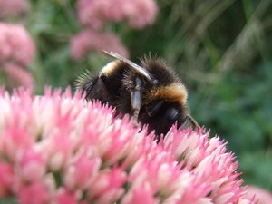 Bumblebee on Pink Flowers: busy bumblebee