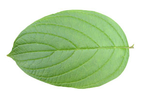 Leaf: A leaf isolated.