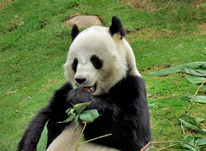 panda snack time8: giant panda snacking on bamboo