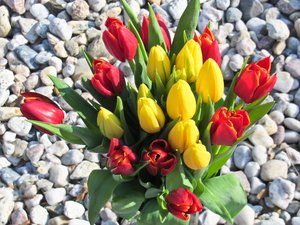 bunch of tulips