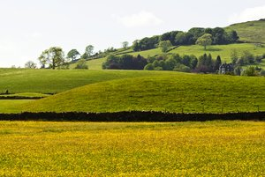 Field of Gold: A field of buttercups at Ings, Cumbria.