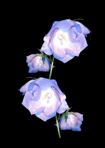 Harebells on black: Delicate blue bell-shaped flowers