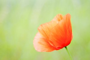 red poppy: red flower: poppy
