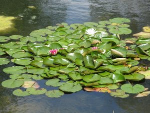 lotus in the pond: none
