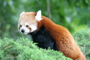 Red Panda: Red Panda in Rotterdam Zoo