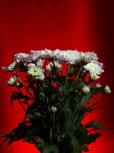 bouquet of flowers: Bouquet - bunch - of white fowers with a glowing red background