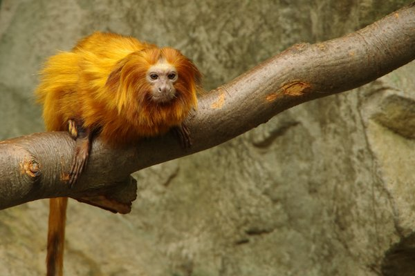 Golden Lion Tamarin: