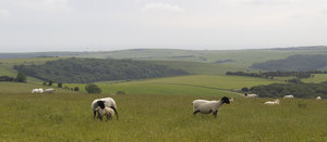 Shorn sheep: Shorn sheep on the South Downs, Sussex, England.