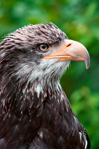 Eagle Profile: Telephoto close-up of an eagle in profile view