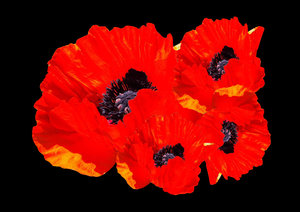 Red Poppies on black: A cluster of red poppies