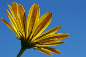 Margerit and blue sky: Yellow margerit in front of a blue summersky.
