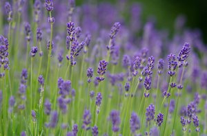 Lavender in blossom