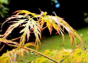Bejewelled Acer: Acer bejewelled with Raindrops
