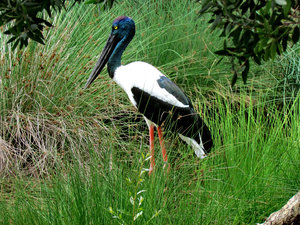 black-necked stork1: distinctive Australian stork also known as a jabiru