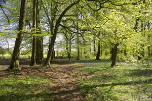 Woodland path: A path through beech woodland in southern England in spring.