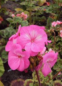 Pink geranium: Geranium beginning to flower