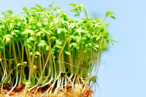 Garden Cress: Garden cress sprouts