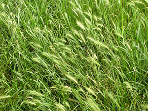Rye in the grass