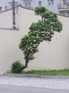 Bent tree: A weird tree beside the wall. Warsaw, Poland.