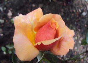 Golden Rose: Pink Rosebud is transformed into golden rose